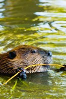 Head of American Beaver, Stanley Park, British Columbia Fine Art Print