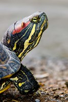 Red-eared pond slider turtle, British Columbia Fine Art Print