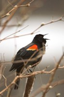Red-winged blackbird, Stanley Park, British Columbia Fine Art Print