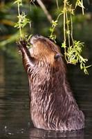 American Beaver Stanley Park British Columbia