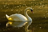 Mute swan, Stanley Park, British Columbia Fine Art Print