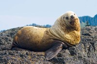 Steller sea lion, Haida Gwaii, British Columbia Fine Art Print