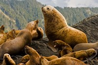 Steller sea lion, Queen Charlottes, British Columbia Fine Art Print