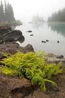 Alpine lady fern, Garibaldi Lake, British Columbia Fine Art Print