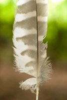 Barred owl feather, Stanley Park, British Columbia Fine Art Print