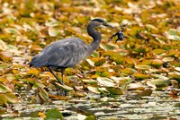 Great blue heron bird, Stanley Park, British Columbia by Paul Colangelo - various sizes