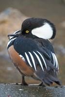 Hooded merganser bird, Stanley Park, British Columbia by Paul Colangelo - various sizes