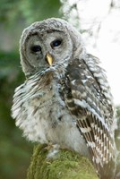 Juvenile barred owl, Stanley Park, British Columbia Fine Art Print