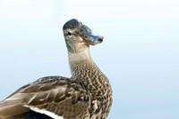 Mallard bird, Stanley Park, British Columbia by Paul Colangelo - various sizes