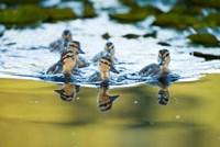 Mallard ducklings, Stanley Park, British Columbia by Paul Colangelo - various sizes