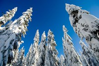 Snow-laden forest, Seymour Mountain, British Columbia by Paul Colangelo - various sizes