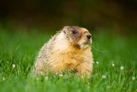 Yellow-bellied marmot, Stanley Park, British Columbia by Paul Colangelo - various sizes