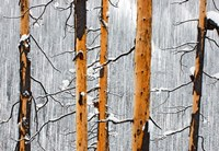 Forest fire, Winter, Kootenay NP, British Columbia by Paul Colangelo - various sizes