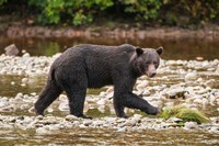 Grizzly bear fishing for salmon in Great Bear Rainforest, Canada by Michael DeFreitas - various sizes