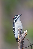 British Columbia, Downy Woodpecker bird, male (front view) by Larry Ditto - various sizes