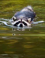Common Raccoon, Stanley Park, British Columbia Fine Art Print