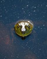 Bullfrog, Stanley Park, British Columbia by Paul Colangelo - various sizes