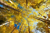 Aspens on the Canon Brook Trail Fine Art Print
