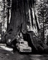 A tall redwood tree, or Sequoia,  through which a road has been cut- 1955 Fine Art Print