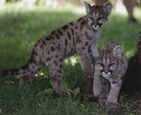 Cougar cubs Fine Art Print