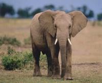 Elephant In Green Field Fine Art Print