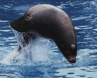 "Sea lion - 10"" x 8"""