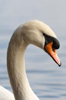 British Columbia, Vancouver, Mute Swan bird by Rick A Brown - various sizes