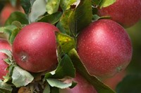 Apples, Okanagan Valley, British Columbia, Canada, Na Fine Art Print