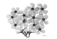 """Oleander Blooms by Albert Koetsier - 19"""" x 13"""""""