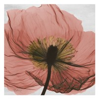 "Poppy Marsala 2 by Albert Koetsier - 13"" x 13"""