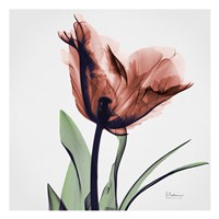 "Tulip Marsala by Albert Koetsier - 13"" x 13"""