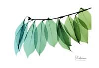 "Camelia Leaf Green Blue 2 by Albert Koetsier - 19"" x 13"""
