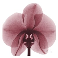 "Orchid Marcela by Albert Koetsier - 13"" x 13"" - $12.99"