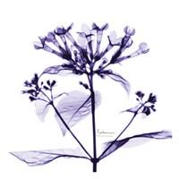 "Bouvardia - Purple by Albert Koetsier - 13"" x 13"""