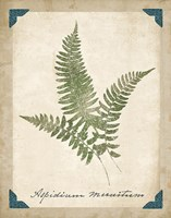 Vintage Ferns X by Wild Apple Portfolio - various sizes