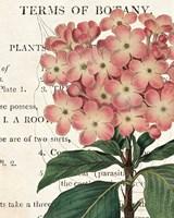 Bicolor Phlox Botany Fine Art Print