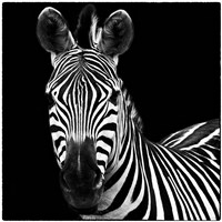 Zebra II Square by Debra Van Swearingen - various sizes
