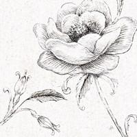 Blossom Sketches II Fine Art Print