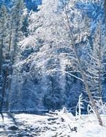Snow covered trees along Merced River, Yosemite Valley, Yosemite National Park, California Fine Art Print