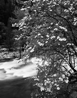 Pacific Dogwood tree, Merced River, Yosemite National Park, California Fine Art Print