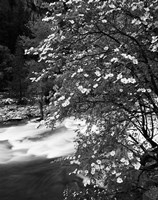 Pacific Dogwood tree, Merced River, Yosemite National Park, California Fine Art Print