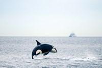 Canada, BC, Sydney, Strait of Georgia Killer whale breaching Fine Art Print