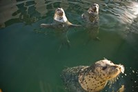 British Columbia, Victoria, Harbor Seals, Oak Bay Fine Art Print