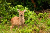 Fawn, Sitka Black Tailed Deer, Queen Charlotte Islands, Canada Fine Art Print