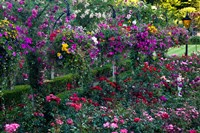 Rose Garden at Butchard Gardens In Full Bloom, Victoria, British Columbia, Canada Fine Art Print