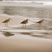 Shore Birds II Fine Art Print