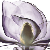Purple Magnolia Fine Art Print