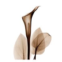 Calla Lily in Sienna Fine Art Print