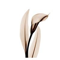 """Single Calla Lily in Sienna by Albert Koetsier - 13"""" x 13"""""""