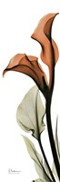 Terracotta Calla Lily Fine Art Print
